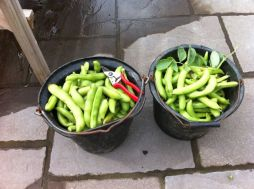 Buckets of broad beans