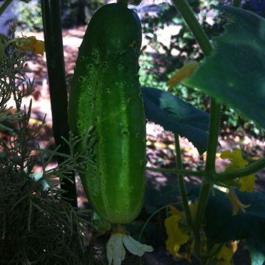 The odd cucumber, too